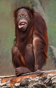 225px-Pongo_pygmaeus_(orangutang)