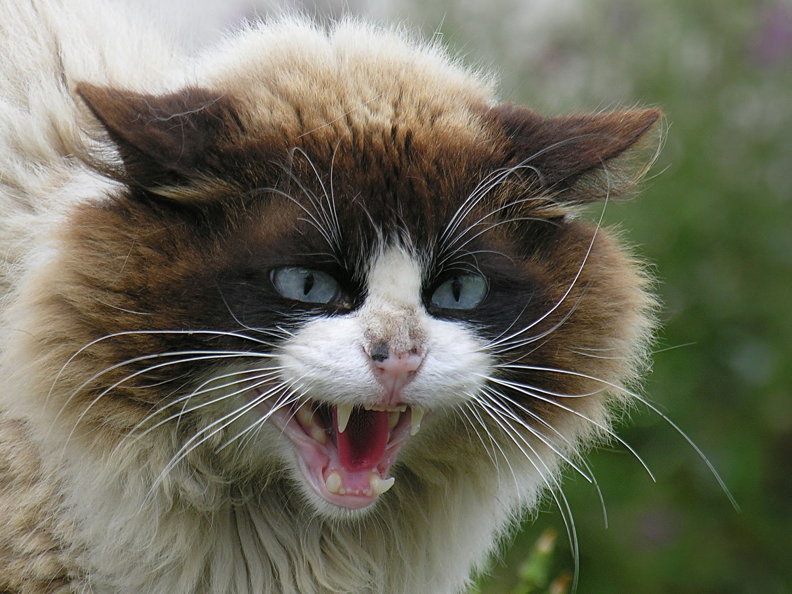 Angry_Cat_Face_Wallpaper
